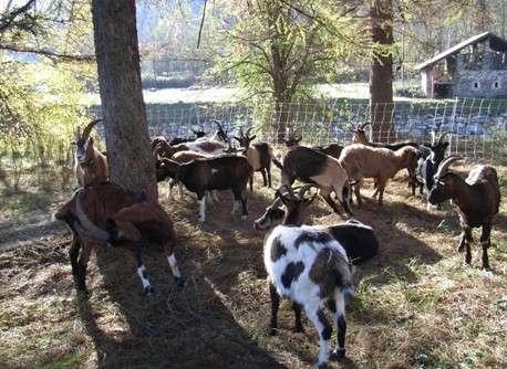 Due brutte storie storie di pascolo vagante for Autocatture per capre